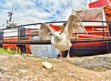 Uccelli che combattono per l'alimento Fotografia Stock