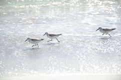 Uccelli che corrono sulla spiaggia Fotografia Stock