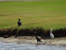 Uccelli che guadano nelle paludi dei terreni paludosi in Florida Immagini Stock