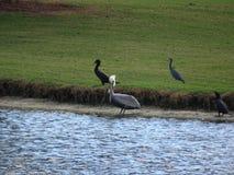 Uccelli che guadano nelle paludi dei terreni paludosi in Florida Fotografia Stock