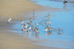 Uccelli che pescano al EL Espino di Playa Immagine Stock