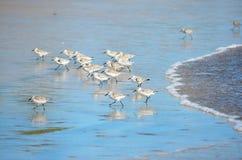 Uccelli che pescano alla spiaggia di EL Espino Fotografia Stock