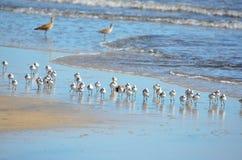 Uccelli che pescano, EL Espino di Playa Fotografia Stock