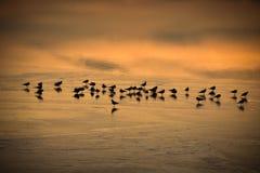 Uccelli che riposano nella Lac de Joux congelata in Svizzera al tramonto Immagine Stock