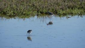 Uccelli che si alimentano in acqua bassa stock footage