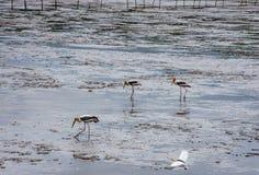Uccelli che si alimentano nel mare alla cacca di colpo, Samut Prakan immagine stock