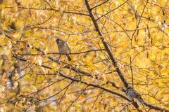 Uccelli che si siedono su una betulla Fotografie Stock