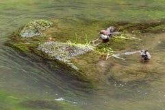 Uccelli che sorseggiano acqua mentre sedendosi su una roccia nel centro del corpo dell'acqua Immagine Stock Libera da Diritti