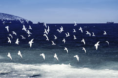 Uccelli che sorvolano mare Immagini Stock