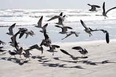 Uccelli che volano alla spiaggia Immagine Stock