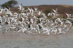 Uccelli che volano su Immagine Stock Libera da Diritti
