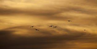 Uccelli che volano sul cielo di crepuscolo Immagini Stock Libere da Diritti