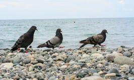 Uccelli (colombe) Fotografia Stock Libera da Diritti
