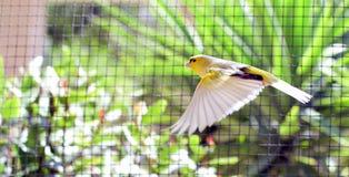 Uccelli color giallo canarino dentro una gabbia circa per prendere volo fotografia stock libera da diritti