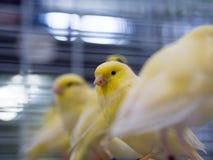 Uccelli color giallo canarino gialli che aspettano per essere venduto in gabbie fotografia stock