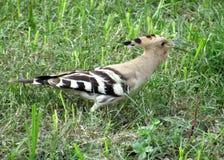 Uccelli colourful piacevoli dell'upupa fotografia stock libera da diritti