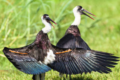 Uccelli con il collo della cicogna di Wooley Immagine Stock