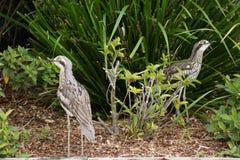 Uccelli con le gambe lunghe del deserto Immagini Stock Libere da Diritti