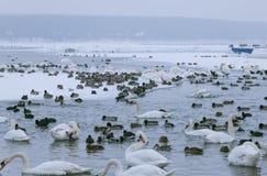 Uccelli congelati in fiume Danubio a -15C Immagini Stock