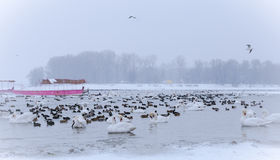 Uccelli congelati sul fiume Danubio a -15C Fotografie Stock