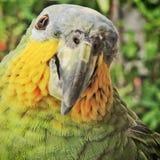 Uccelli, conosciuti popolare come gli uccelli o gli uccelli Fotografie Stock Libere da Diritti