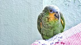 Uccelli, conosciuti popolare come gli uccelli o gli uccelli Fotografie Stock