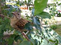 Uccelli, conosciuti popolare come gli uccelli o gli uccelli Immagini Stock Libere da Diritti