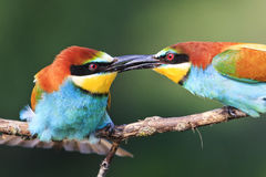 Uccelli costanti della stretta di mano Immagini Stock