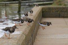 Uccelli costieri 2 del Turnstone Immagini Stock Libere da Diritti