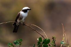 Uccelli in cratere di Ngorongoro in Tanzania Fotografia Stock