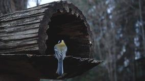 Uccelli d'alimentazione con le mani La cinciallegra mangia i semi nella foresta nel lago o nel fiume Bella fauna selvatica stock footage