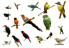 Uccelli dalla Costa Rica Immagini Stock