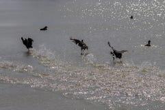 Uccelli degli uccelli acquatici di instabilità e gocce di acqua sulla spiaggia fotografia stock