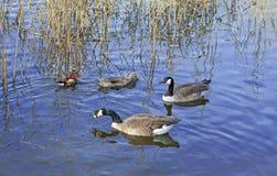 Uccelli degli uccelli acquatici Immagini Stock