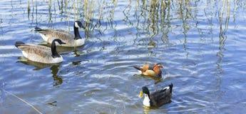 Uccelli degli uccelli acquatici Fotografia Stock