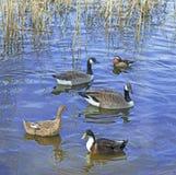 Uccelli degli uccelli acquatici Fotografia Stock Libera da Diritti