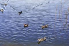 Uccelli degli uccelli acquatici Fotografie Stock Libere da Diritti