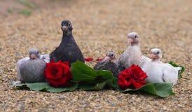 Uccelli degli uccellini implumi del piccione che si siedono sulla sabbia immagini stock libere da diritti