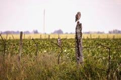 uccelli dei gufi e del campo Immagini Stock