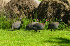uccelli dei Guinea-gallinacei Fotografie Stock Libere da Diritti