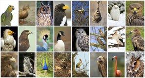 Uccelli del collage Immagine Stock