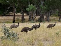 Uccelli del Emu Fotografia Stock Libera da Diritti