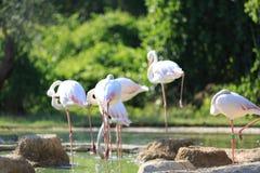 Uccelli del fenicottero fotografia stock
