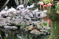 Uccelli del fenicottero e dell'iguana Immagine Stock