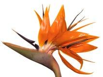 Uccelli del fiore del paradiso tropicali delle Hawai Immagine Stock Libera da Diritti