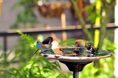 Uccelli del fringillide nel bagno dell'uccello in Florida del sud Fotografia Stock
