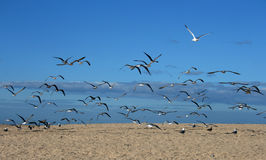 Uccelli del gabbiano Fotografia Stock