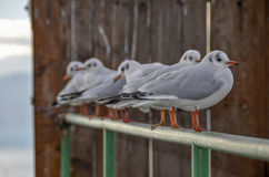 Uccelli del gabbiano Immagini Stock