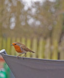 Uccelli del giardino, Robin Fotografie Stock
