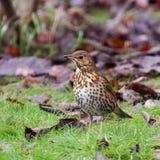 Uccelli del giardino - tordo di canzone immagini stock libere da diritti